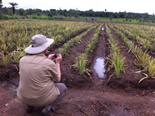 Wesleyan churches helping to provide pineapples in Sierra Leone